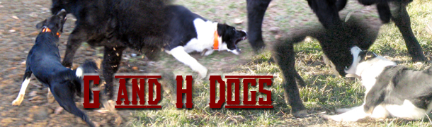 Our Dogs - G  amp H Stockdogs G And H Border Collies